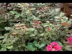 How to Get Rid of Japanese Beetles - the Easy Way! - YouTube