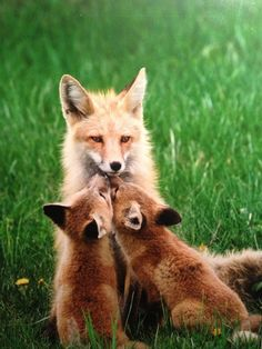 Fox kits giving Momma some kisses