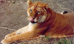 Tigón, hìbrido de tigre y leona