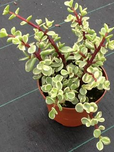 Portulacaria afra f. variegata (Rainbow Bush, Variegated Elephant Shrub) → Plant characteristics and more photos at: http://www.worldofsucculents.com/?p=1633