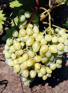 виноград Аркадия