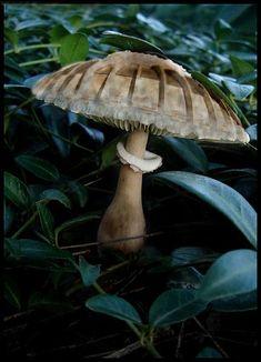 Stadiumhead Mushroom