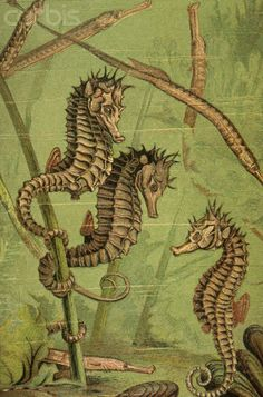 Natural History Print of Seahorses and Pipefishes