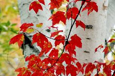 Red maples with birch trunks, near Peacham, Vermont - photo by Andy Cook