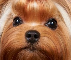 Beautiful face of a Yorkshire Terrier