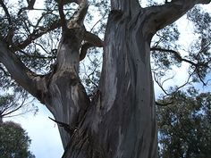eucalyptus Eucalyptus Tree, Yard, Nature, Plants, Summer, Patio, Naturaleza, Summer Time, Plant