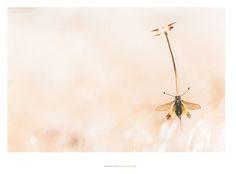 Insect Folies - Patrick Goujon-photographe animalier et macrophotographie nature