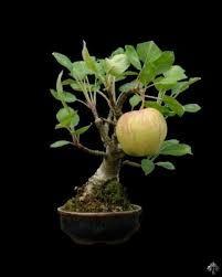 bonsai - Google Search