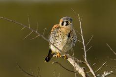 Tornfalk (Falco tinnunculus) ungfågel.