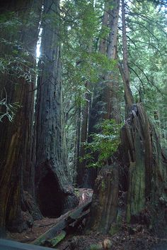 Cathedral Grove Redwoods in Muir Woods