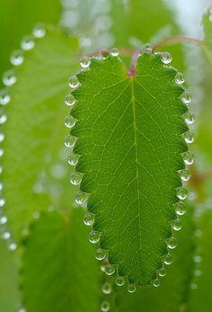 Guttation on a leaf
