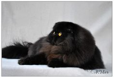black persian male - R'Mes Cattery - R'MES GREYSTOKE