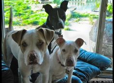 There's Still A Lot Of Work To Be Done For Pit Bulls, Poll Finds