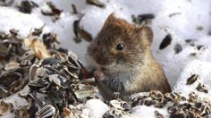 A small forest vole smell the spring