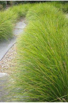 Lomandra longifolia Tanika®