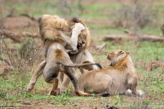 After a few months involving a tense stand off, the pair of lions launch at each other...