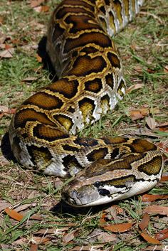 Own a Burmese or Reticulated Python Pretty Snakes, Cool Snakes, Colorful Snakes, Beautiful Snakes, Les Reptiles, Reptiles And Amphibians, Beautiful Creatures, Animals Beautiful, Anaconda Snake