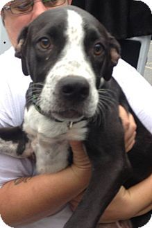 MIDDLE ISLAND, NY - Pit Bull Terrier Mix. Meet Liberty, a puppy for adoption. http://www.adoptapet.com/pet/13952016-middle-island-new-york-pit-bull-terrier-mix