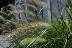 Pennisetum alopecuroides 'Hameln':  Zone: 5-9 Height: 24-30 in. tall and wide Deer Resistant Green foliage with tassels that emerge rosy and turn a coppery tan.