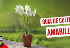 Guia de Cultivo de Amarillys Amarillis, Flower Planters, Cactus, Place Card Holders, Flowers, Plants, Food, Gardening, Organic Fertilizer