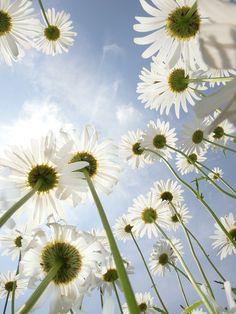 daisies, margaritas, naturaleza, cielo, blanco, azul, natural