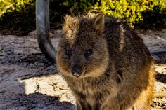 Last week at Rottnest Island | Quokka Love