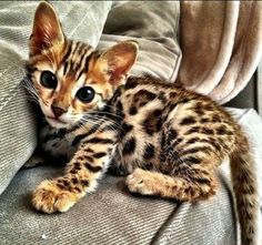 10 Famous Striped Cat Breeds in the World Of 2020 Bengal Cat Cute Cats And Kittens, I Love Cats, Crazy Cats, Cool Cats, Kittens Cutest, Funny Kittens, Kittens Playing, Pretty Cats, Beautiful Cats