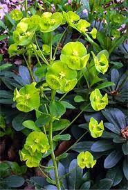 Euphorbia amygdaloides var. robbiae x 5 for D, and x 6 for L