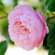 The Generous Gardener Climbing - David Austin Roses. Charming blooms of the softest pink. Glorious scent of old rose, musk and myrrh. Spectacular.