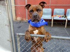 TO BE DESTROYED 6/13/14  Manhattan Center -P   FREX.  A1002368  Male br brindle/white boxer  pit mix.1 YR  STRAY 06/06/2014 ***PUPPY ALERT!!! Volunteer says: Frex is a  friendly character! Okay w/ other dogs, leashed easily  no trouble putting him back. Walks nicely on leash. Friendly w/ all, playful and loves to be petted…Frex is a gorgeous youngster, sociable  affectionate who might need some basic training to make him yours but will make a great playmate and forever companion.