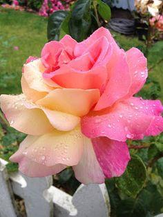 #Rose - Google+