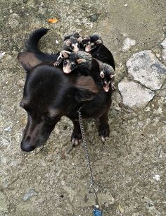 Dog Adopts Orphaned Opossums, Takes Them For Rides On Her Back