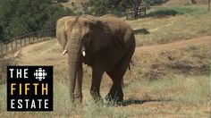 the fifth estate returns to the Performing Animals Welfare Sanctuary in California to find out what became of the elephants from the Toronto Zoo whose journe...