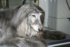 Kabul my first sighthound #adopteddog #blueafghan