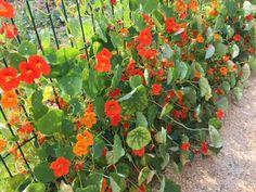 Capucine, une fleur à planter au potager Vintage Garden Decor, Vintage Gardening, Home Flowers, Modern Landscaping, Vegetable Garden, Beautiful Gardens, Shrubs, Perennials, Outdoor Gardens
