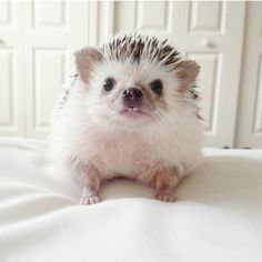 ~Minnie the Hedgehog~ Animals And Pets, Baby Animals, Funny Animals, Cute Animals, Pygmy Hedgehog, Baby Hedgehog, Animal Pictures, Cute Pictures, All Gods Creatures