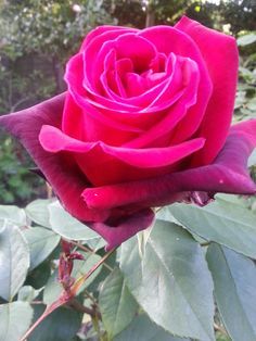 A romantic Red rose