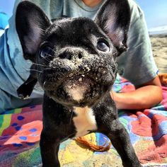 """I'm eating sand...why?...cause I'm at the BEACH, that's why!"", French Bulldog Puppy"