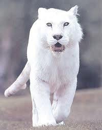 Rare Albino lion.