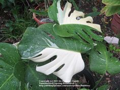 SWISS CHEESE PLANT: Monstera (Swiss Cheese Plant) A large ...