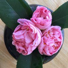 49 Best Camellias Images In 2020 Camellia Plants Tea Plant