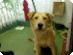 Adopt a Pet :: NUGGET - Atlanta, GA - Golden RetrieverAct quickly to adopt RITA. Pets at this shelter may be held for only a short time.