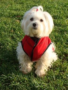 Dog - Maltese - Fifty on www.yummypets.com Dogs, puppy, pet, cute, animals, Yummypets, pup, pooch,