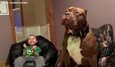 Hulk At Lbs Might Be The Worlds Biggest Pitbull And Hes - Meet hulk possibly worlds biggest pitbull still growing