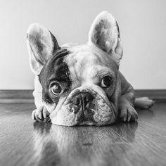 Manny the French Bulldog #Frenchbulldog