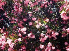 Adelfas rosas oscuras.