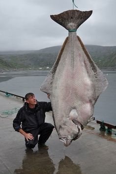 Marco Liebenow and his giant halibut (515lbs) caught in Norwegian waters