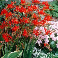 Lucifer Crocosmia offers a colorful and striking display of bright red flowers in mid to late summer. Awesome for attracting hummingbirds to your garden. This perennial is herbaceous and grows 24-36 inches tall and wide. Blooms best in full sun.