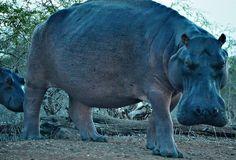 Seekoeie kry baie swaar weens die erge droogte in die Krugerwildtuin.  Foto…