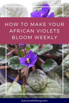 Houseplants for Better Sleep Explaining How To Make Your African Violets Bloom Weekly And Keep Your House Plant Looking Gorgeous Via The Spirited Violet Indoor Vegetable Gardening, Home Vegetable Garden, Container Gardening, Garden Plants, Indoor Plants, Organic Gardening, Gardening Tips, Gardening Quotes, Pot Plants
